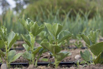 *Online* Crop Planning for Veggie Gardeners