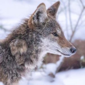 CTV and Vancouver is Awesome: Meet Kip, the three-legged coyote living at UBC
