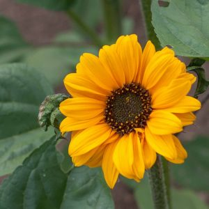National Geographic: Breeding climate-resilient sunflowers